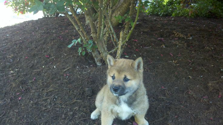 Shiba Inu Puppies For Sale In Pennsylvania http://www.network34.com/dogsbreed/shiba-inu-puppies-for-sale-pa-md-ny-nj-dc/