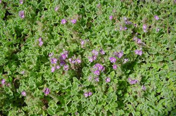 Wooly Veronica Pectinata Rubra Sdwell Called A Stepable Plant Spreads Quickly Blooms Tiny Purple Flowers Has Soft Leaf