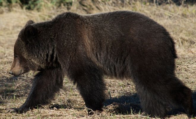 This is monitored grizzly bear number 128 near Field, BC [Parks Canada photo]