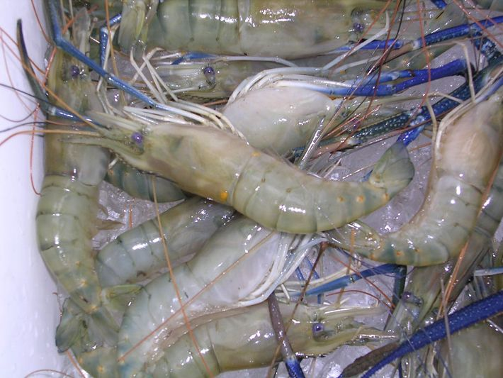 The 25 best prawn farming ideas on pinterest tilapia for Fish farms near me