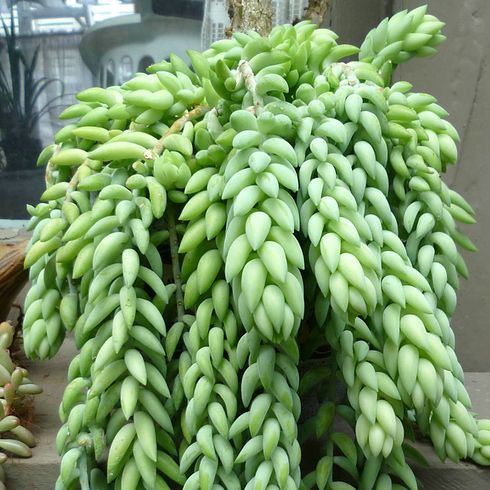 Donkey's tail succulent 17 Incredible Houseplants You Need Right Now