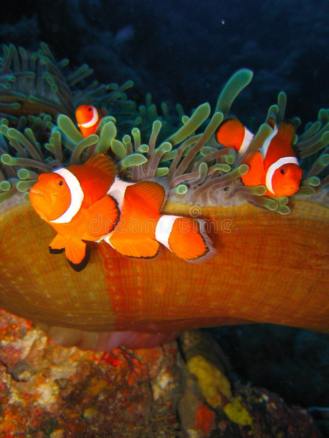 Tropical Clown Fish Tropical Finding Nemo Clown Fish Photo From A Scuba Diving Ad Finding Nemo Photo Tropical Clow Clown Fish Fish Stock Tropical