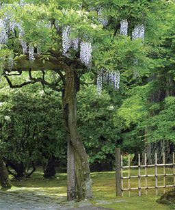 Pruning and Training Wisteria: Well-placed summer and winter cuts will keep this vigorous vine manageable