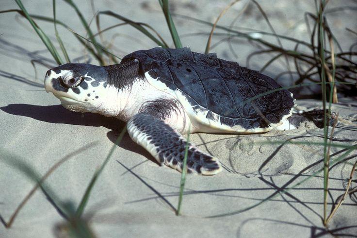 Kemps Ridley Sea Turtle, Texas (5984946972) - Kemp's ridley sea turtle - Wikipedia, the free encyclopedia