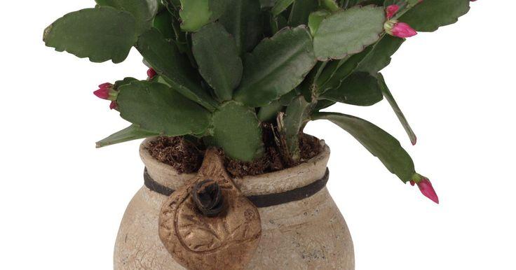 Mofo na flor de maio. A flor de maio (Schlumbergera bridgesii) é uma das várias espécies de cactos. Ela produz flores coloridas chamativas durante os meses de abril, maio e junho. É uma planta de vida longa e, por isso, frequentemente torna-se uma herança familiar. A flor de maio precisa de luz intensa, noites longas e temperaturas noturnas frias para desenvolver-se e ...