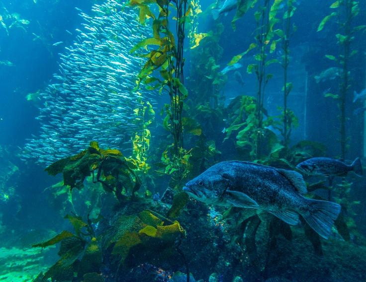 Monterey Bay Aquarium Kelp Travel California