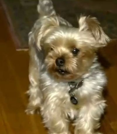 Rescued Yorshire Terrier defends home and guardian from intruding bear » DogHeirs   Where Dogs Are Family « Keywords: bear, New Jersey, yorkshire terrier
