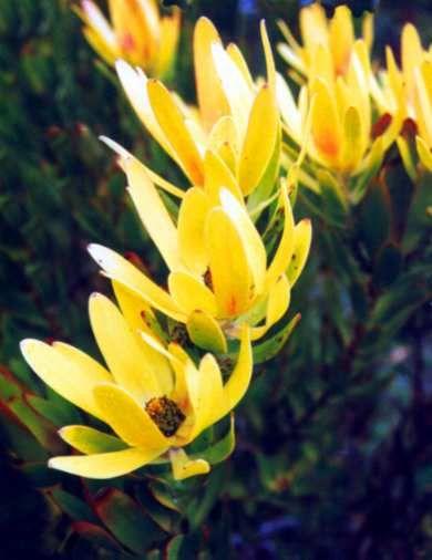 Leucadendron Laureolum Golden Conebush Louriertolbos