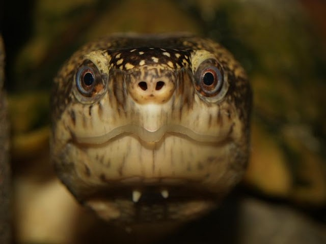 turtle.. Umm, thank you pinterest for my nightmares ahead of time tonight..looks enough like a snake that close up