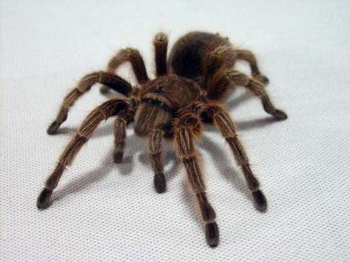 Chilean Rose-Hair Tarantula Caresheet - http://homesalive.ca