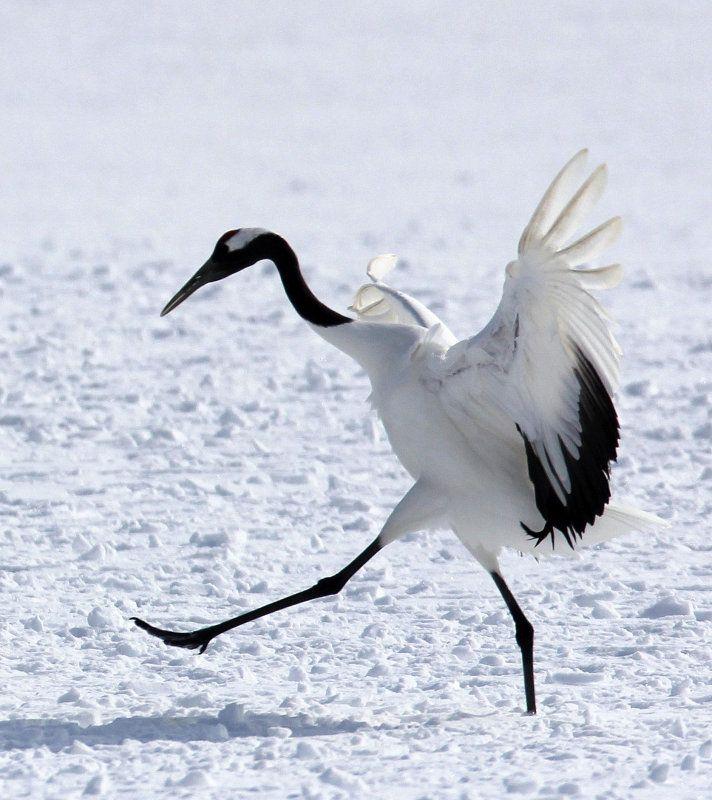 Japanese Crane Birds   BIRD - CRANE - JAPANESE RED-CROWN CRANE - TSURUI CRANE CENTER ...
