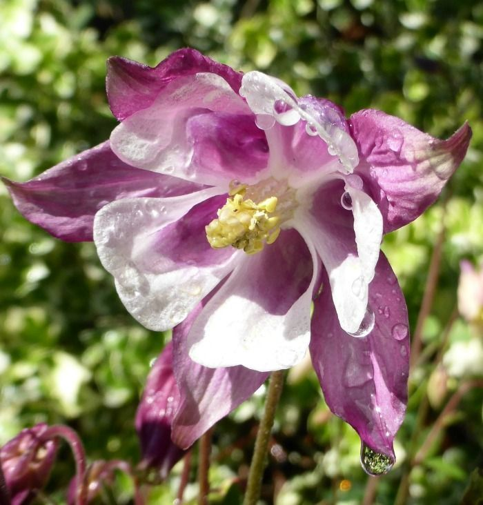 columbine has lovely bell shaped flowers. click through to see my tips for growing this pretty perennials.