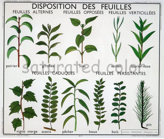 Vintage Leaves Botanical Chart Print 1920s  by SaturatedColor, $11.99