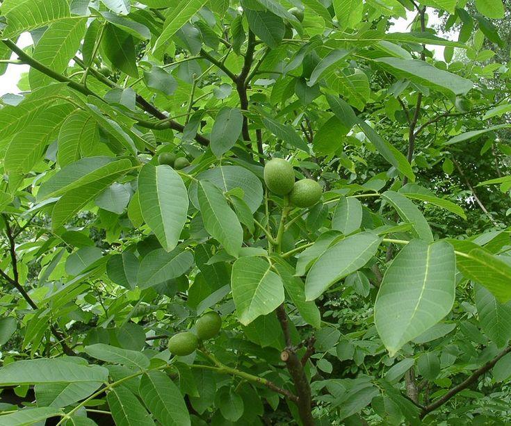 Цілющі властивості листя горіха та квітів глоду | Новина | Всеукраїнська асоціація пенсіонерів