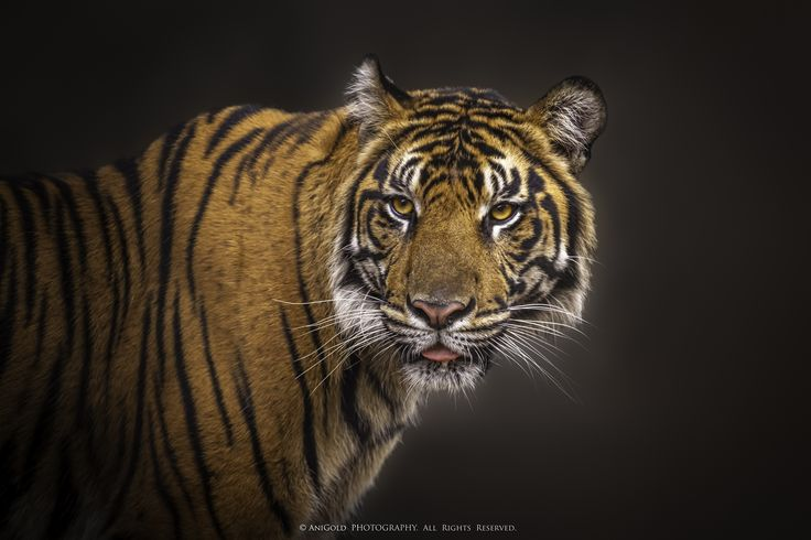 """Vigilance"" by AniGold, tiger, nature, cat, wildlife,"