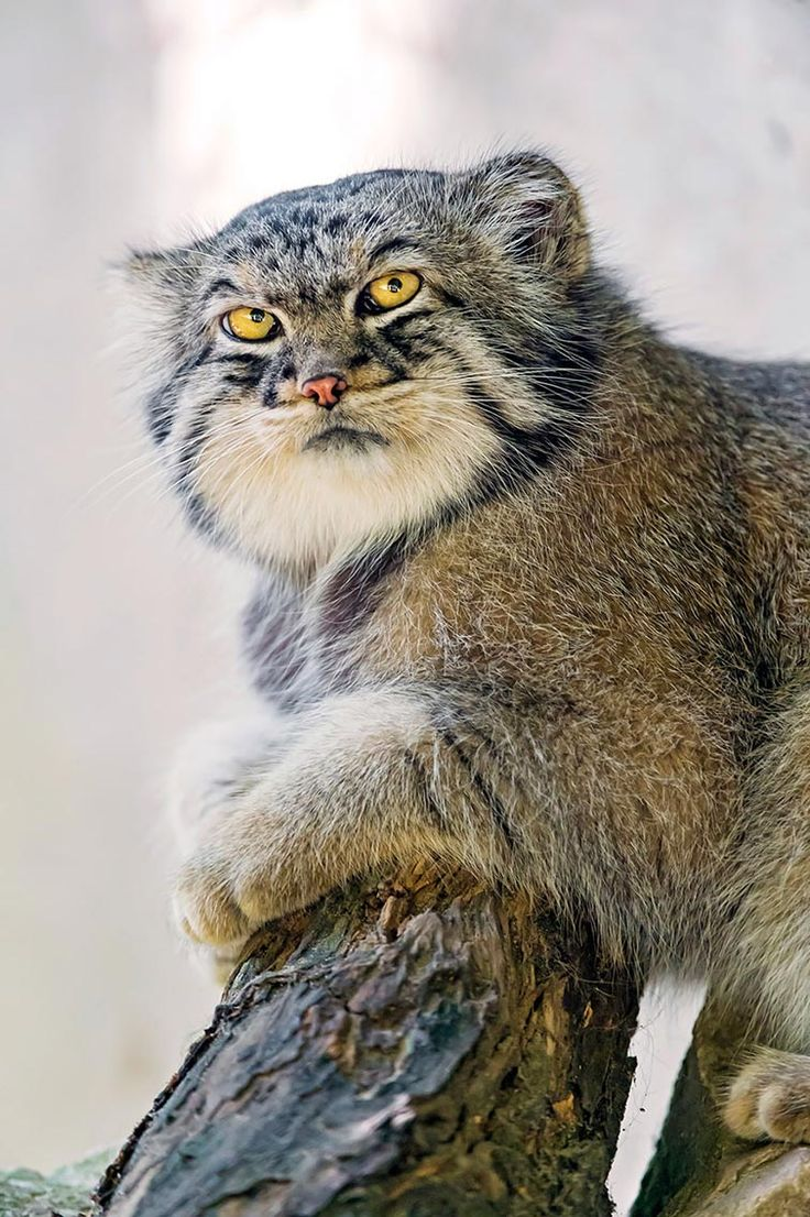 The Manul or Palas' cat from Central Asia. An endangered species that do not thrive in captivity.