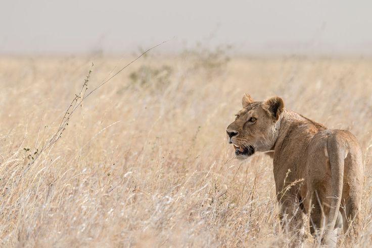 Löwin auf der Pirsch durch die weite Grassavanne der Serengeti.