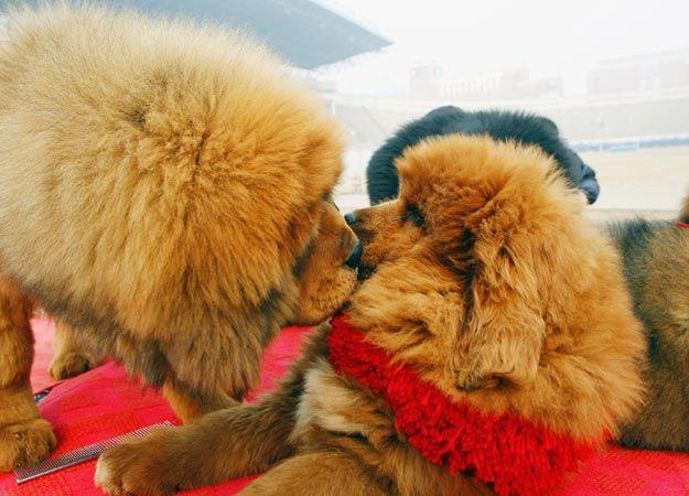 Red Tibetan Mastiff 2
