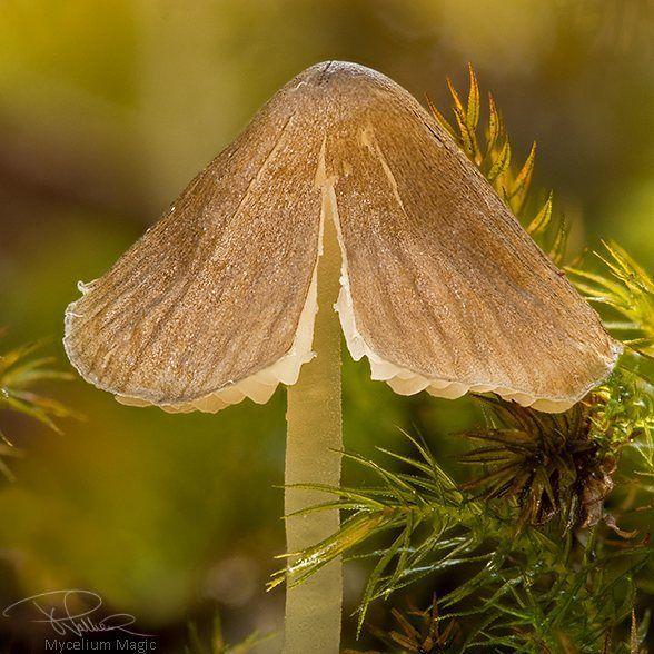 Mycelium Magic on Facebook #fungi#mycology#fungiphotography#mushrooms#mushroomphotography#queensland#australia#nature#naturephotography#macro#macrophotography#australianfungi#lookdownsometimes#wildlifephotography#mushroomhunting#fantasticfungi#mushroom#forest#natgeo#canonaustralia#shroom#mushroomspotting#mushrooms#fungiforthepeople#australiagram#pocket_macro#gympie#thisisqueensland#macrobrilliance#macroperfection