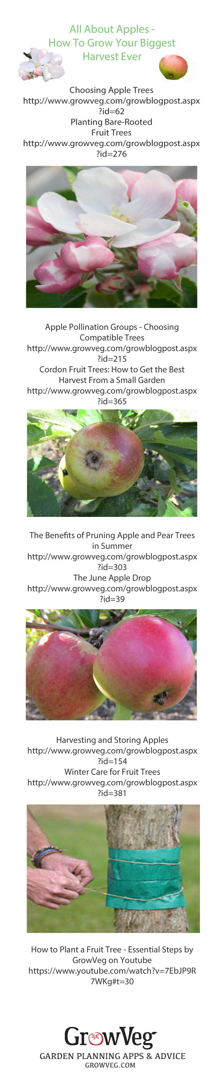 Everything that you need to know about planting, growing and caring for your apple trees. How to store the apples and how to prune them, how to make sure that you get the best harvest out of the smallest space from the Garden Planner at growveg.com