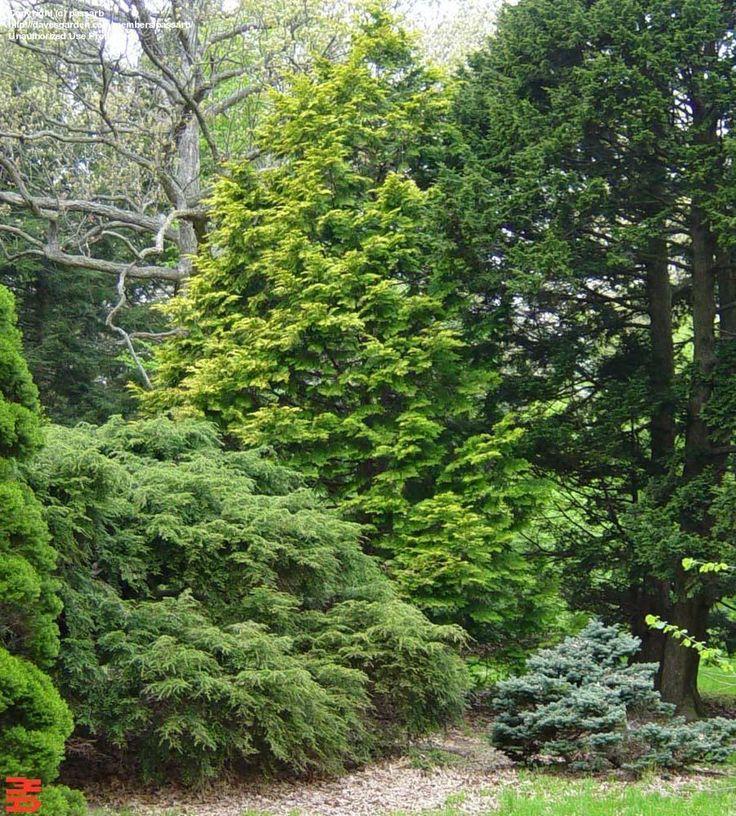 47 best conifers images on pinterest garden shrubs shrubs and diy landscaping ideas. Black Bedroom Furniture Sets. Home Design Ideas