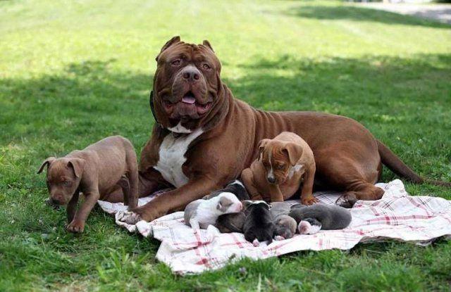 Самый крупный питбуль в мире обзавелся потомством, щенки оцениваются в полмиллиона долларов