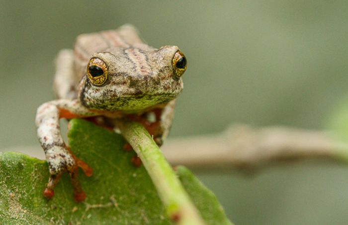I got some good macro shots of this little fella – the painted reed frog. Photograph by Trevor Ryan McCall-Peat
