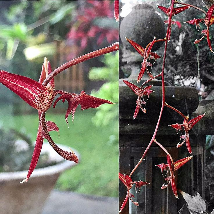 Cual danza de dragones, las flores de esta orquídea Gongora atropurpurea es lo más parecido a ver pequeños dragones volando #ig_peru #ig_peru_ #igersperu #orquidea #orchid #orchidworld #orchidporn