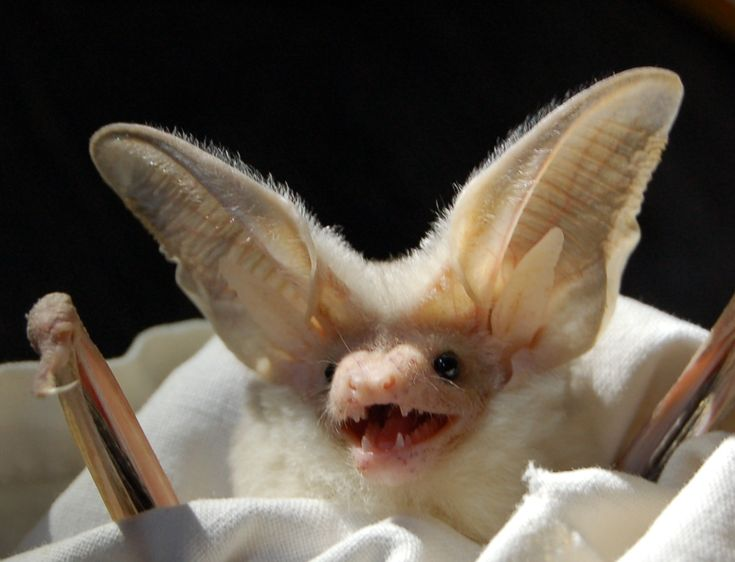 Hemprich's long-eared bat (Otonycteris hemprichii), a gleaning insectivore of deserts that is known to feed on scorpions.