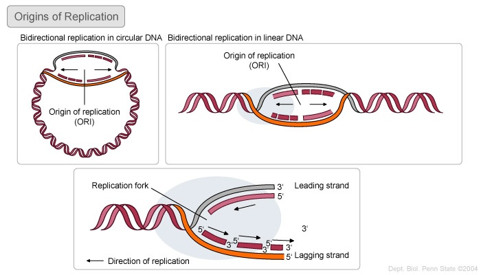 Origin of replication vs. Replication fork