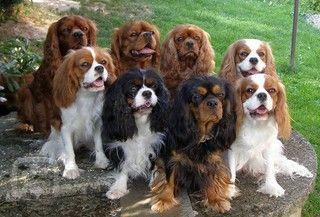 Kavalír King Charles Španěl - Plemena psů, psí plemena - Kavalír King Charles Španěl