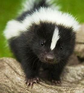 Baby skunk image via Selene on www.Facebook.com