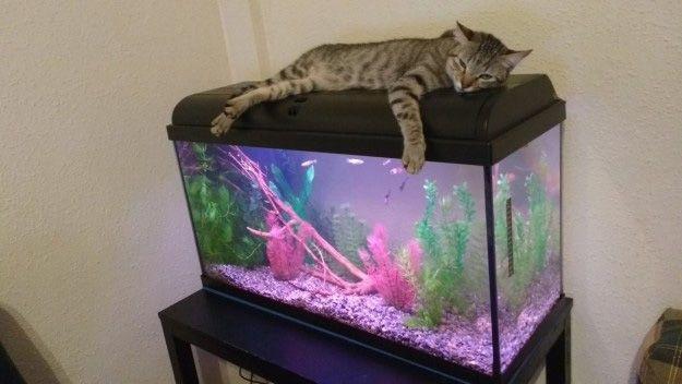 El gato que por la dieta ya no puede comer peces