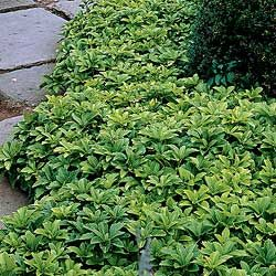 """Pachysandra Regular """"Terminalis"""" - A very nice spreading, evergreen ground cover. Dark green foliage all year. White flowers in mid summer. A great shade ground cover that will not climb. Great for mass plantings, rock gardens, borders, etc.  Shade to part sun.  Height 6-12 inches.  Zones 3-10."""