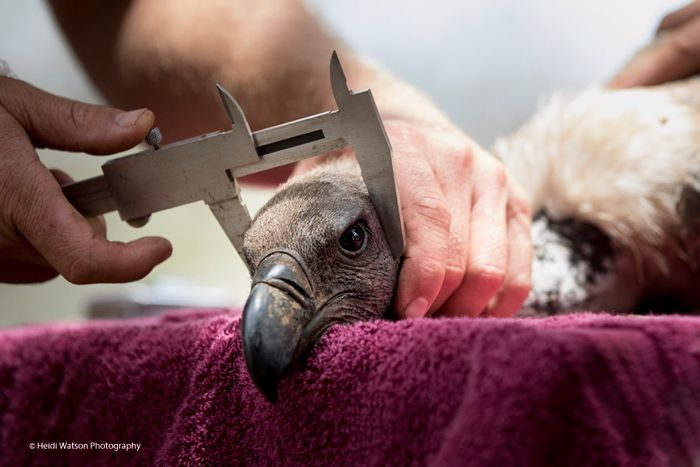 Catching and releasing vultures for conservation