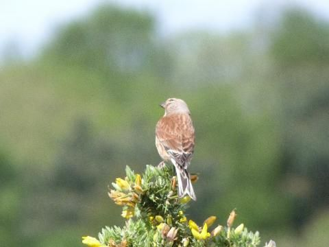 Linnet: stubble and squeak | The Nature of Dorset