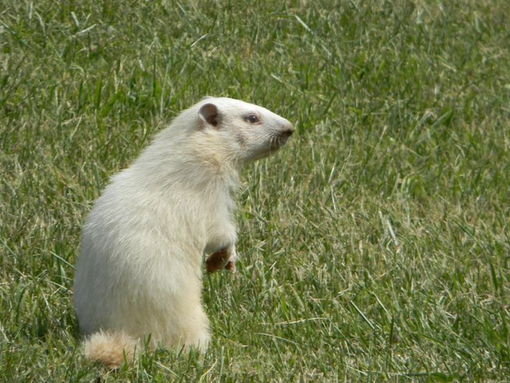 albino groundhog pictures | Did you know that Wiarton Willie is an albino groundhog!
