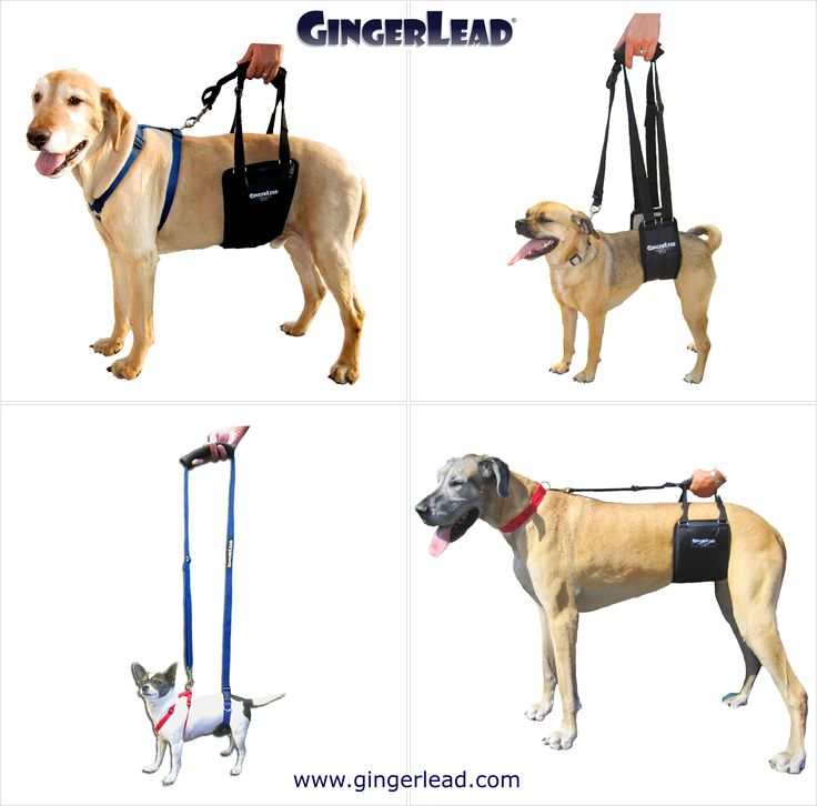 The GingerLead Dog Support & Rehabilitation Harness is a premium belly sling with a leash & handle to help dogs with weak hind legs walk. It's ideal for senior or disabled dogs needing some assistance with their mobility or balance, dogs suffering from arthritis, degenerative myelopathy or other debilitating conditions, or dogs recovering from knee, hip or back injuries. GingerLeads are available in male and female slings for toy to giant breed dogs. Recommended by Veterinarians.