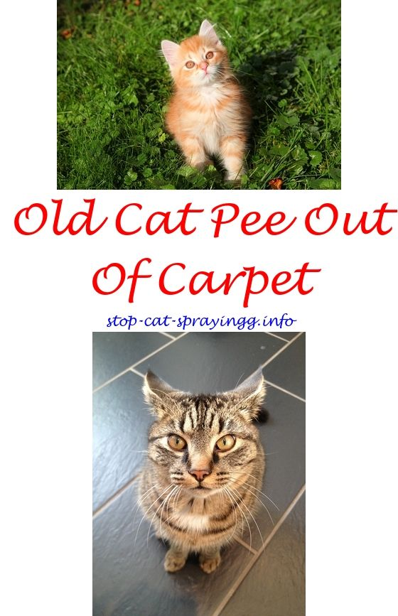 Cat Away Spray For Furniture Bitter After Neuter Cats And Citrus How To Stop Spraying 1034784885 Domaleorfemalecatsspray