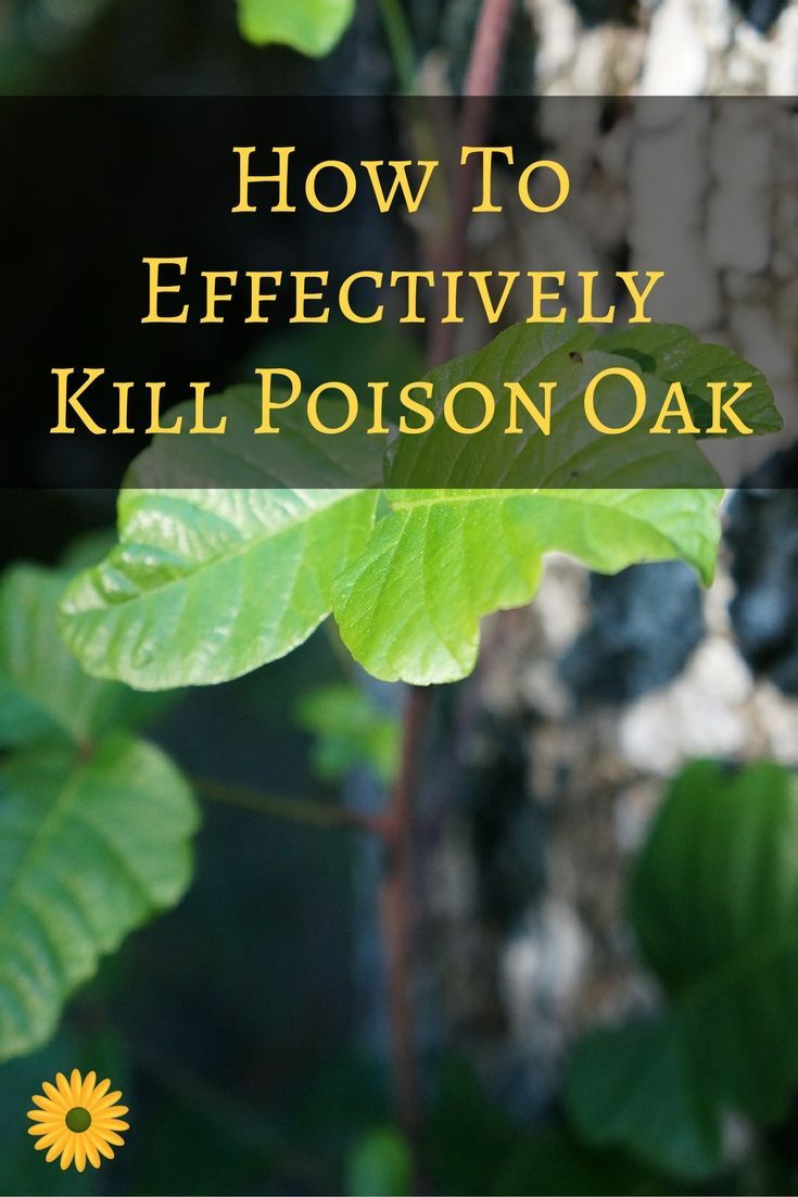 Here's how to effectively kill poison oak from your yard!
