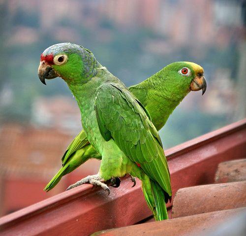 Pareja de Loros / Couple of Parrots