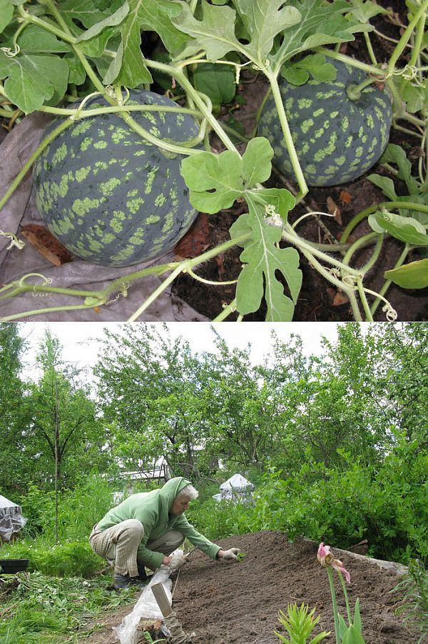 Арбузы растут на грядке. | сад-огород | Постила