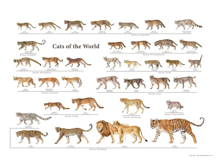 I spent countless hours illustrating and designing this Cat Species of the World poster. ( Family: Felidae ) You can order one here for donating: www.gofundme.com/savethecheetah  100% goes towards my children's book trip to Namibia!