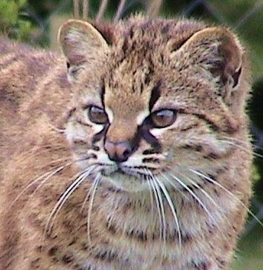Kodkod or Guina - Leopardus guigna  South America