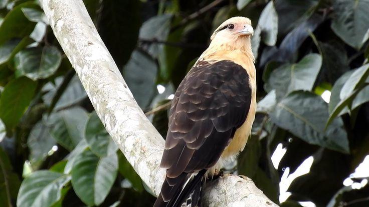 Gavião-carrapateiro, Aves de rapina,  Milvago chimachima, Yellow-headed ...