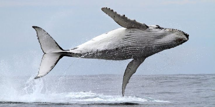 The Azores, Portugal are considered one of The Ultimate Whale Watching Destinations around the Globe By Ilya Albert    business2community   From March to May, Azores are one of the best places to catch a glimpse of blue Whales, whose tongue can weigh as much as an elephant. The water around the nine islands of the Azores are great places to see 20 or more species of Dolphins and Whales. islands of Faial, Pico and San Jorge. August 2014