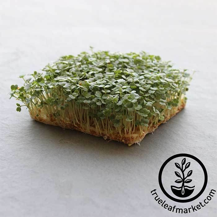 Arugula Slow Bolt Microgreens Seeds Growing Microgreens