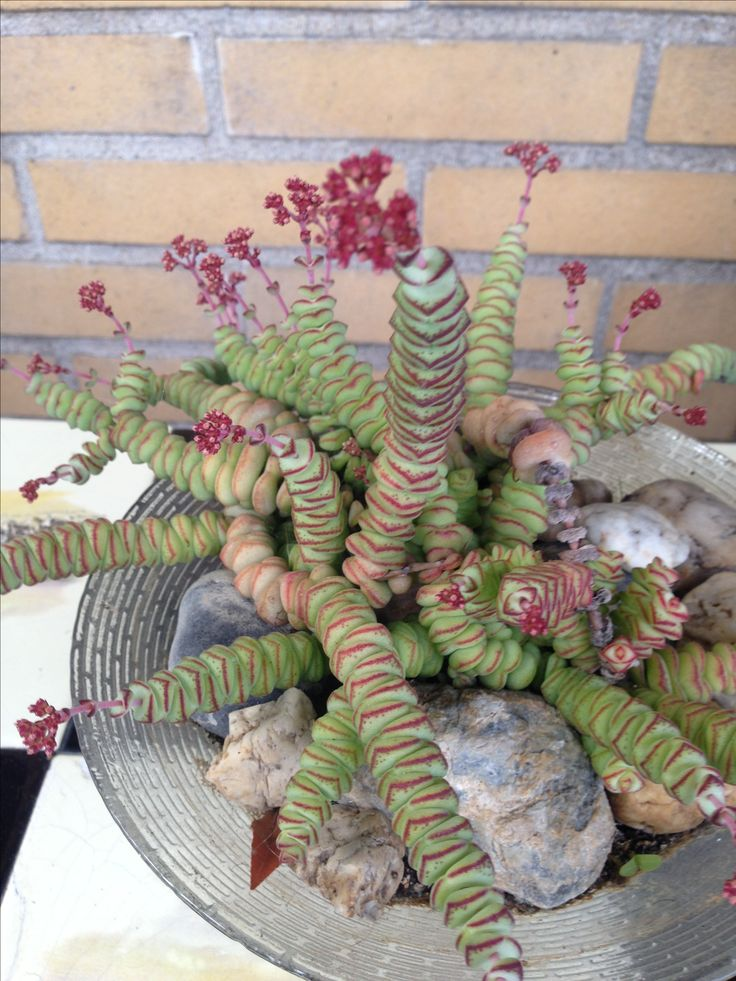 Kent iemand de naam van deze vetplant? Kunstwerkje van moeder natuur