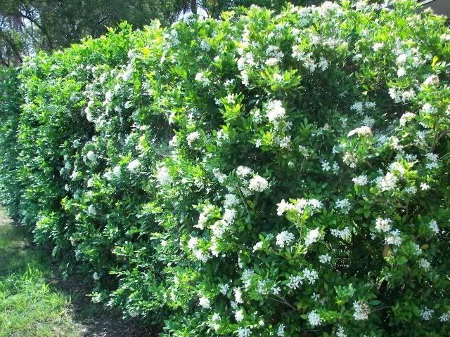 14 best flower hedges images on pinterest vegetable garden orange jessamine murraya white star flower followed by crimson berries hedge white mightylinksfo