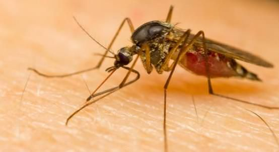 Home Remedies for Malaria Treatment Naturally Home remedies for malaria…